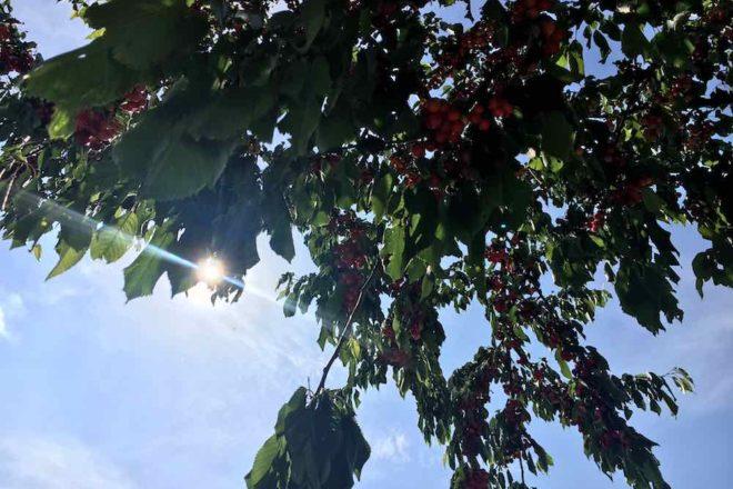 Pastamaniac: Stories - Ich habe keine Lust. Kirschbaum vor blauem Himmel
